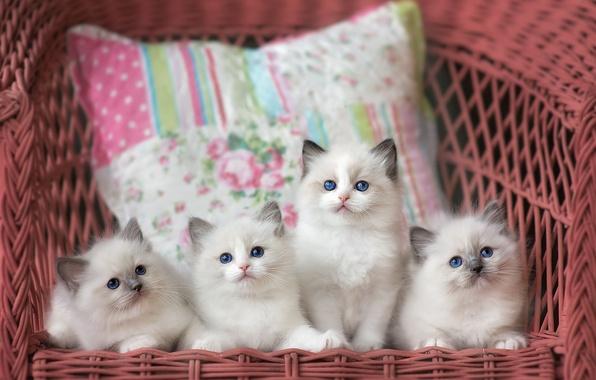 Картинка кошки, кресло, котята, подушка, компания, милашки, голубоглазые, выводок, рэгдолл