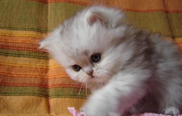 Картинка пушистый, малыш, котёнок