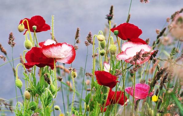 Картинка лето, трава, цветы, маки