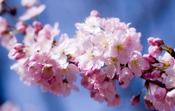 Картинка небо, цветы, вишня, розовый, весна, лепестки, сакура, цветение
