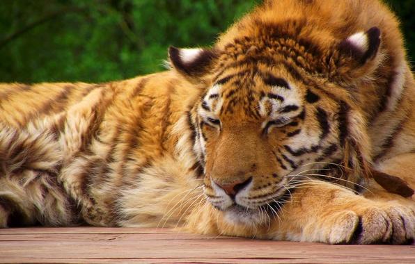 Картинка морда, тигр, лапы, спит, тигрёнок, полосатая рыжая кошка
