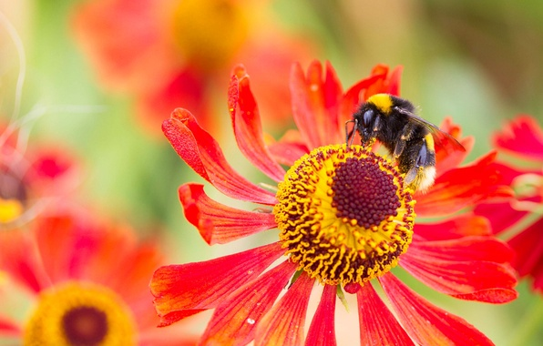 Картинка цветок, природа, лепестки, насекомое, шмель