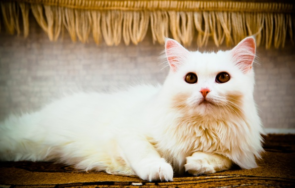 Фото обои кошка, лежит, взгляд, кошки, белый, глаза, кот