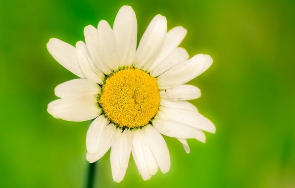 Картинка белый, цветок, цветы, зеленый, фон, widescreen, обои, размытие, ромашка, wallpaper, цветочки, flower, широкоформатные, background, полноэкранные, …