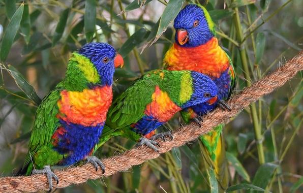 Картинка птицы, канат, попугаи, трио, троица, Многоцветный лорикет, лорикеты