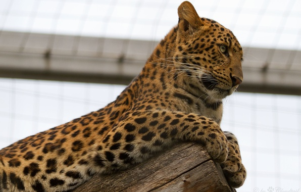 Картинка кошка, леопард, профиль, бревно