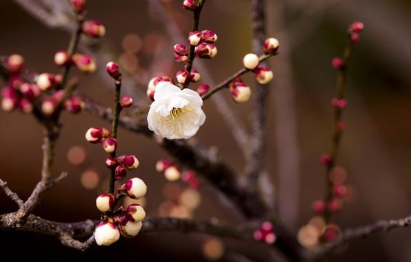 Картинка цветок, макро, ветка, весна, абрикос, бутоны, боке, веточки, цветочек