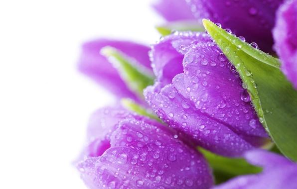 Картинка листья, капли, цветы, роса, яркие, красота, букет, лепестки, фиолетовые, тюльпаны, water, flowers, сиреневые, beauty, drops, …
