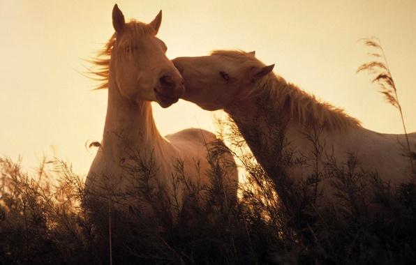 Картинка трава, свет, кони, лошади, light, grass, Животные, animals, horses