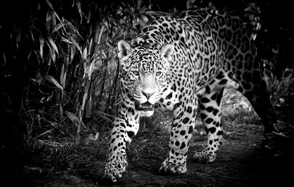 Картинка морда, хищник, ягуар, черно-белое, дикая кошка