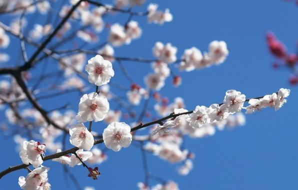Картинка Небо, Сакура, Ветка