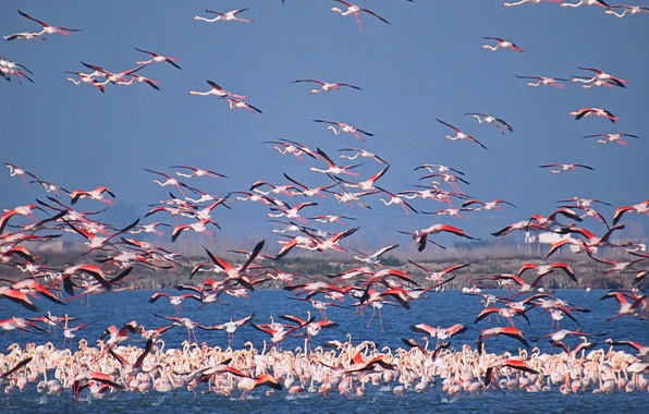 Картинка небо, птицы, озеро, стая, фламинго