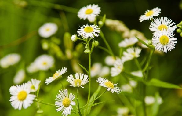 Картинка трава, цветы, природа, поляна, ромашки, белые