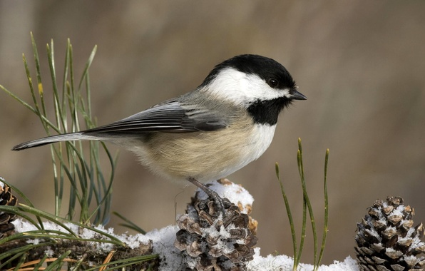 Картинка зима, снег, птичка, шишки, синичка