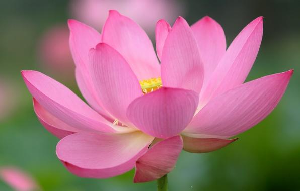 Картинка цветок, краски, лепестки, лотос