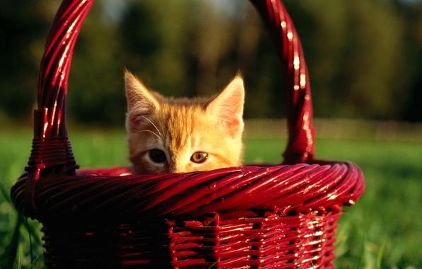 Картинка котенок, корзина, милый, выглядывает