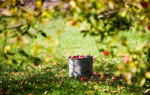 Картинка лето, солнце, яблоки, урожай, ведро, лужайка