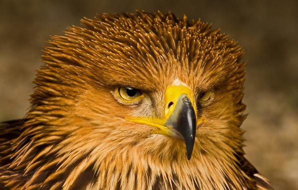 Картинка взгляд, птица, портрет, хищник, Орел