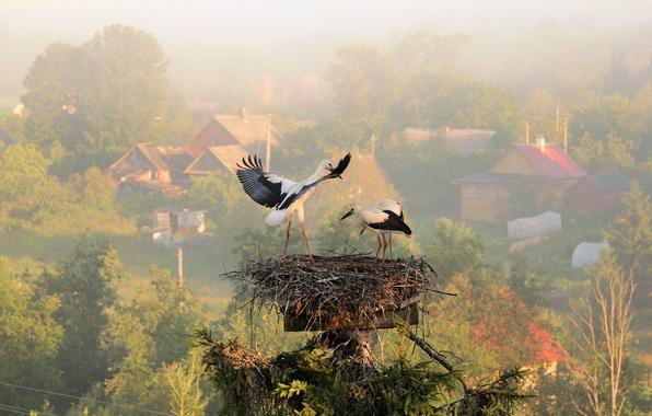 Картинка лето, туман, утро, деревня, гнездо, аисты