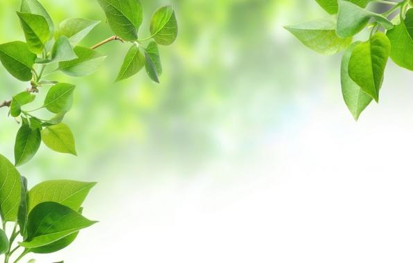 Картинка листья, фон, дерево, зеленые листья, листок, ветка, background, leaves, tree, leaf, branch, green leaves