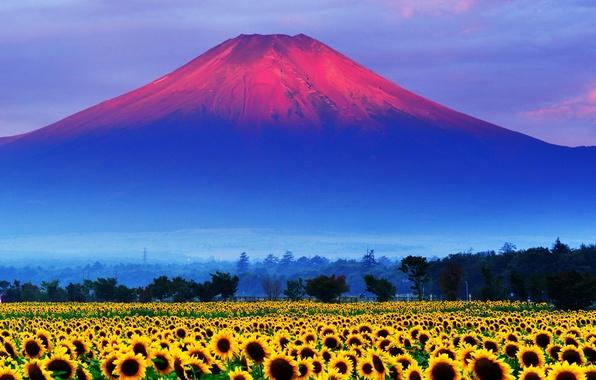 Картинка поле, небо, закат, подсолнух, Япония, гора Фудзияма