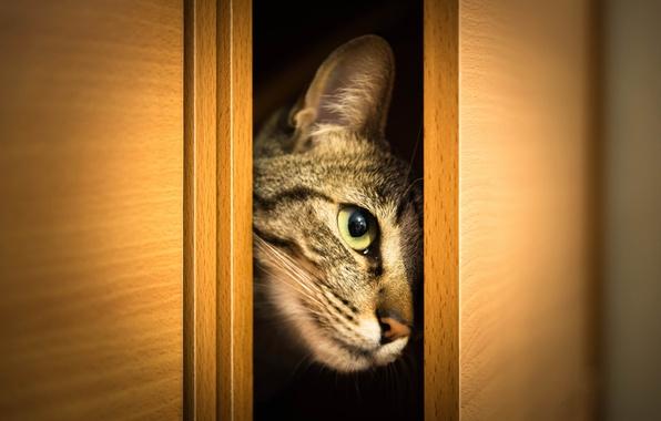 Картинка кошка, кот, взгляд, морда, шкаф, выглядывает, дверцы