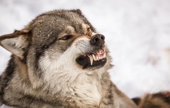 фото оскал волк