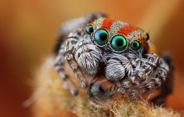 Картинка глаза, взгляд, макро, паук, джампер