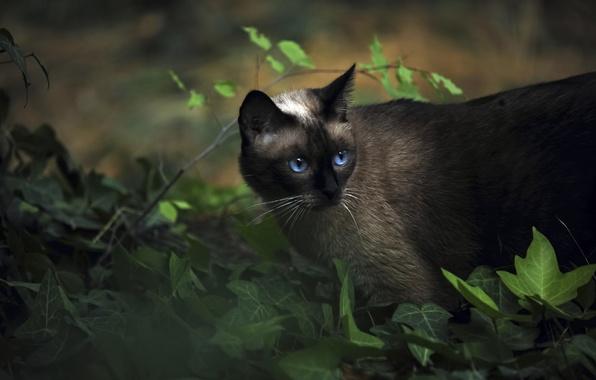 Картинка животные, кот, сиамский