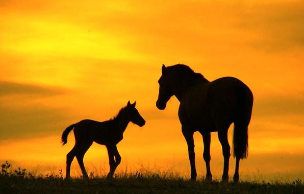 Картинка поле, небо, трава, закат, природа, лошадь, силуэт, жеребенок, 2014