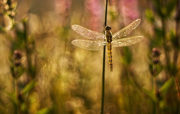 Картинка блики, фон, блеск, крылья, растения, стрекоза, размытость, травинки
