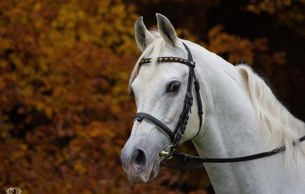 Картинка осень, белый, морда, конь, лошадь, грива, красавец, (с) OliverSeitz, уздечка