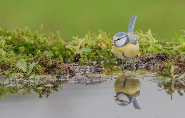 Картинка вода, отражение, птичка, синица, лазоревка