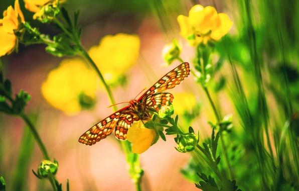 Картинка макро, цветы, бабочка, боке