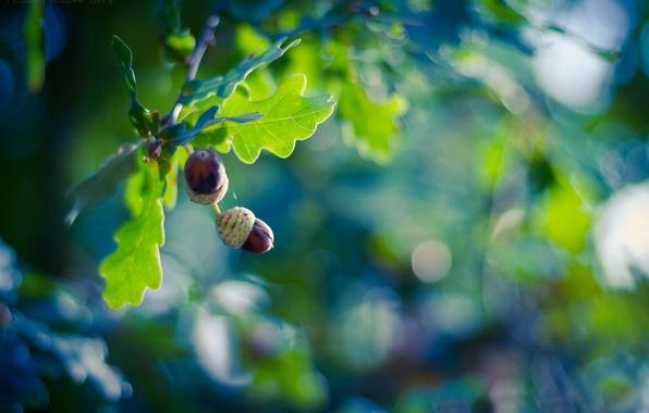 Картинка листья, ветки, блики, фон, дерево, плоды, желуди, дуб
