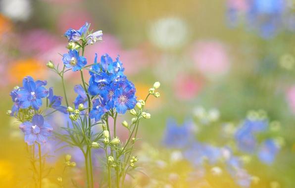 Картинка поле, трава, цветы, растение, луг, соцветие