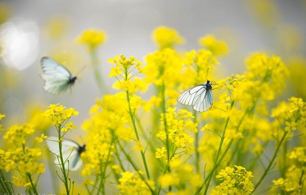 Картинка бабочки, цветы, желтые, Насекомые, капустницы
