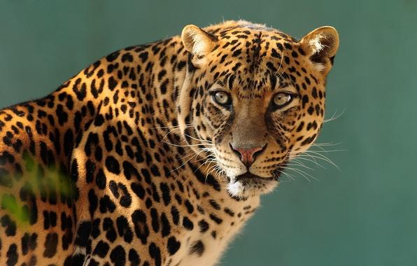 Картинка взгляд, морда, хищник, леопард, профиль