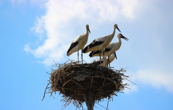 Картинка небо, птицы, природа, гнездо, аисты