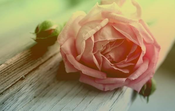 Картинка цветок, макро, дерево, роза, лепестки, бутон