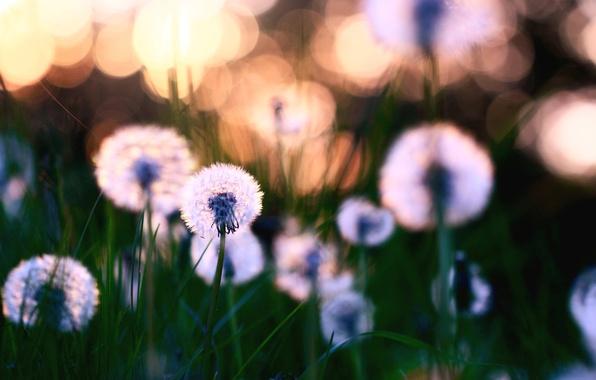 Картинка листья, цветы, природа, фон, обои, поляна, растения, размытость, травка, одуванчики, цветение, wallpapers