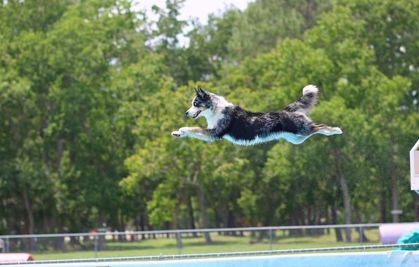 Картинка прыжок, собака, бассейн, полёт, Бордер-колли