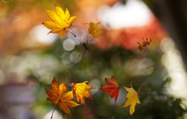 Картинка осень, макро, листва, паутина, паук, боке