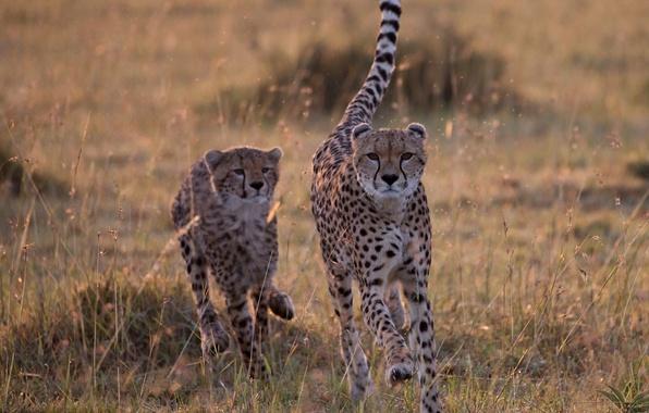 Картинка саванна, дикие кошки, гепарды, догонялки