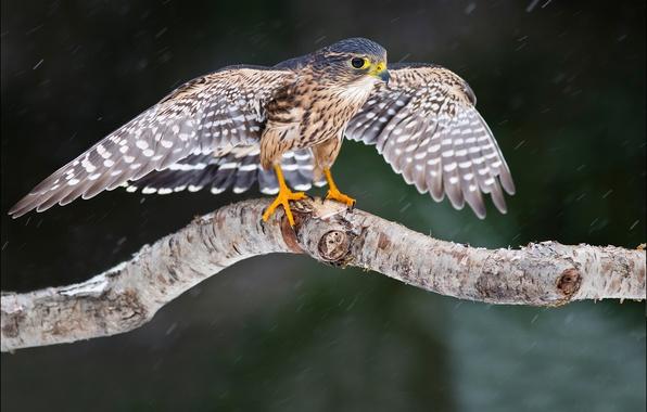 Картинка взгляд, снег, дерево, птица, крылья, Сокол