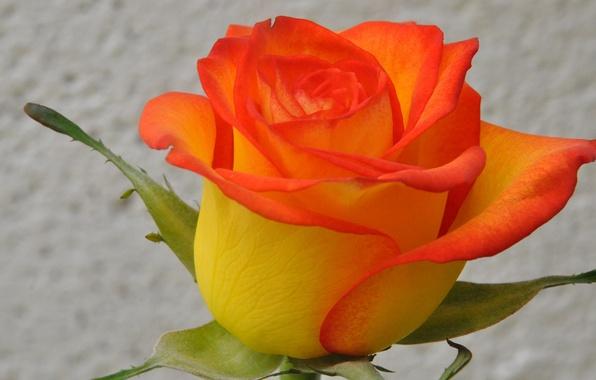 Картинка макро, природа, роза, растение, лепестки, бутон