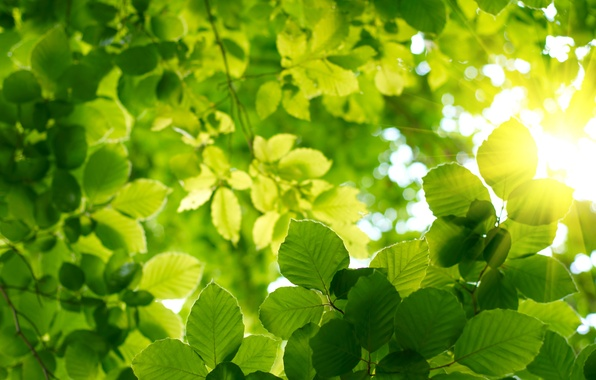 Картинка зелень, лето, небо, листья, солнце, весна, Лес