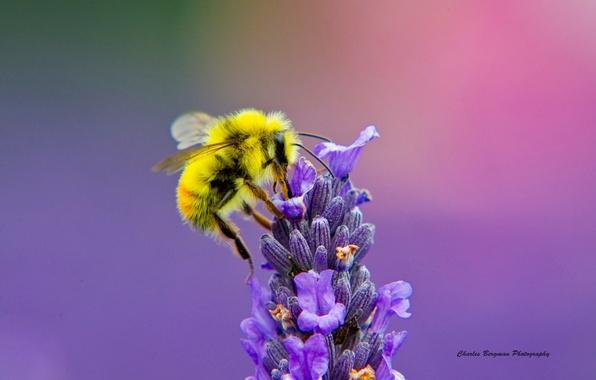 Картинка цветок, макро, пчела, лаванда