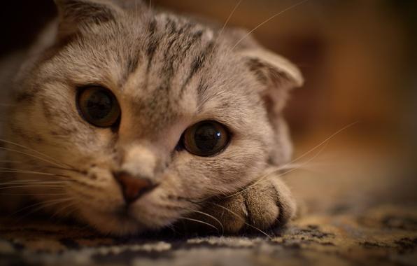 Картинка кошка, животные, глаза, кот, усы, взгляд, кошки, киса, лежит на лапке