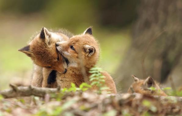 Картинка природа, фон, лисы